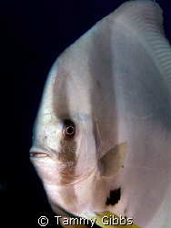 Batfish portrait taken on the Great Barrier Reef using Ol... by Tammy Gibbs