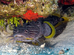 The illusive Splendid Toadfish common to Cozumel, comes o... by Walt Hill