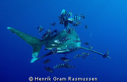 Oceanic Whitetip with his buddies :) by Henrik Gram Rasmussen