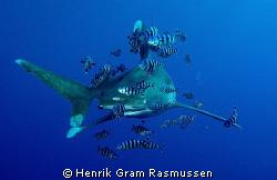 Oceanic Whitetip with his buddies :) by Henrik Gram Rasmussen