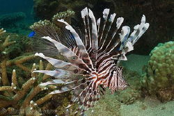 Lionfish hot off the sensor from this morning's dive.  Ni... by Ross Gudgeon