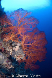 Soft Coral in Blue Corner