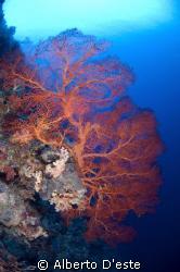 Soft Coral in Blue Corner Ninon D70S - 10,5mm - DS125 by Alberto D'este