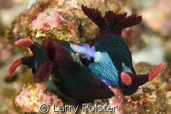 Puerto Galera, D300, 105VR, Nudi love by Larry Polster