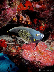 This photo of a French Angelfish was taken in October 200... by Steven Anderson