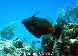 Filefish seen in Grand Cayman August 2008.  Photo taken w... by Bonnie Conley