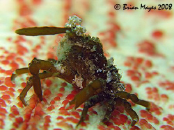 Small decorator crab (possibly Menaethius monocerus) on t... by Brian Mayes