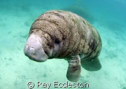 Manatee ,taken at Three Sisters Spring Crystal River FL. by Ray Eccleston