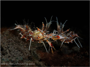 Fighting tiger shrimps. by Gregory Sin