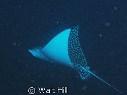 This was on one of our last dives and floating next to th... by Walt Hill