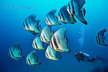 PNG - New Britain - Walindi - Batfish - COMPOSING > diver... by Manfred Bail