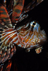 Nikon D80, 60mm , Lionfish by Andy Kutsch