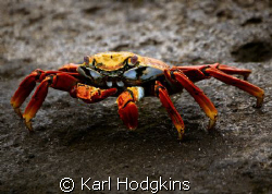 Colourful crab! by Karl Hodgkins