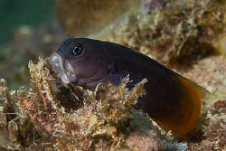 Roooooar!  Bicolour Blenny.  Ningaloo Reef, Western Austr... by Ross Gudgeon