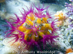 A soft coral taken at Moonie Reef in Port Elizabeth, Cano... by Anthony Wooldridge