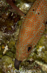 Juvenile Moray Eel eaten by fish-Palancar Caves Cozumel by Richard Goluch