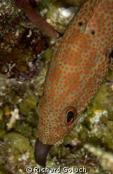 Juvenile Moray Eel eaten by fish-Palancar Caves Cozumel by Richard Goluch