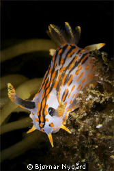 Polycerea quadrilineata taken at Gulen Dive Resort. Canon... by Bjørnar Nygård