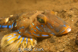 male dragonet with vivid blue stripes. by Mike Clark