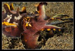 Flamboyant Cuttlefish D300, 60mm AF-S Macro by Kay Burn Lim