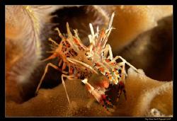 Tiger Shrimp.  D300, 60mm FA-S Macro by Kay Burn Lim