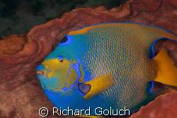 Queen Angel inside a barrel sponge-Cozumel-Canon 5D 100 m... by Richard Goluch