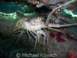 Spiney lobster on the Inside Reef at Lauderdale by the Sea by Michael Kovach