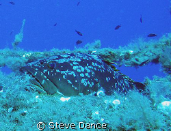 Large Grouper taking a rest on the hull of the Zenobia wr... by Steve Dance