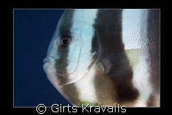 Maldivian Batfish by Girts Kravalis