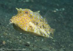 Thorn-back cowfish. Lembeh straits. D200, 60mm. by Derek Haslam
