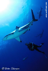 People thinks that sharks are dangerous...but don´t...I t... by Victor Tabernero