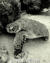 Green Turtle, Indian Bay, St. Vincent, St. Vincent and th... by Kay Wilson