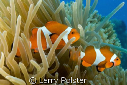 Nemo 2, Bohol, Philippines, D300-Sigma 14mm by Larry Polster