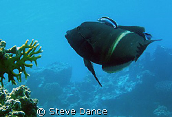 Clown Wrasse (Clown Coris) at a cleaning station. Taken a... by Steve Dance
