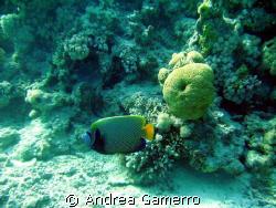 Big Angelfish by Andrea Gamerro