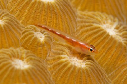 Tiny goby on a coral head by Andy Lerner