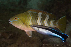 Cleaner wrasse at work on juvenile parrotfish.  Ningaloo ... by Ross Gudgeon