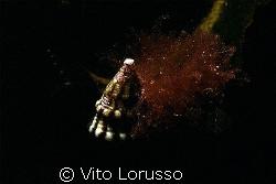 Schells by Vito Lorusso