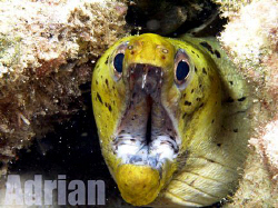 Close up of the Green head Morray with White body.. Taken... by Adrian Schokman