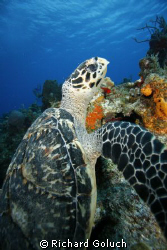 Sea turtle over the reef in Cozumel-Canon 5D -17-40 mm by Richard Goluch