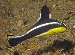Juvenile Silver Sweetlips (Diagramma pictum) in Anilao. T... by Jim Chambers