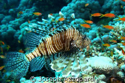 Lion fish at El Gardens Dahab Egypt by Joseph Azzopardi