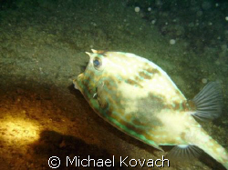 Picture of Cow fish taken at night on the Inside Reef at ... by Michael Kovach