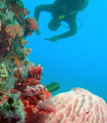Scorpionfish w/ diver Sabang PI by Martin Dalsaso