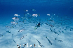 Free diver swimming with Horse eye jacks,   Angle iron wr... by Mike Ellis