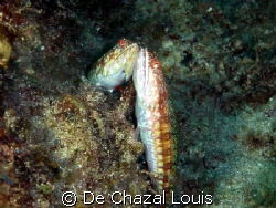 A lucky shot of these in love fishes by De Chazal Louis