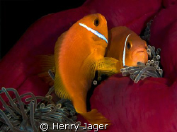 """Mating Dance"" from the Maldives. by Henry Jager"