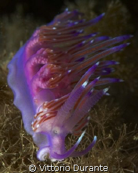 Flabellina Affinis by Vittorio Durante