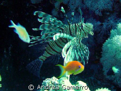 Lionfish 2 by Andrea Gamerro