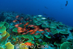 An all star cast - sharks, snappers, soldierfishes etc. e... by Wendy Capili